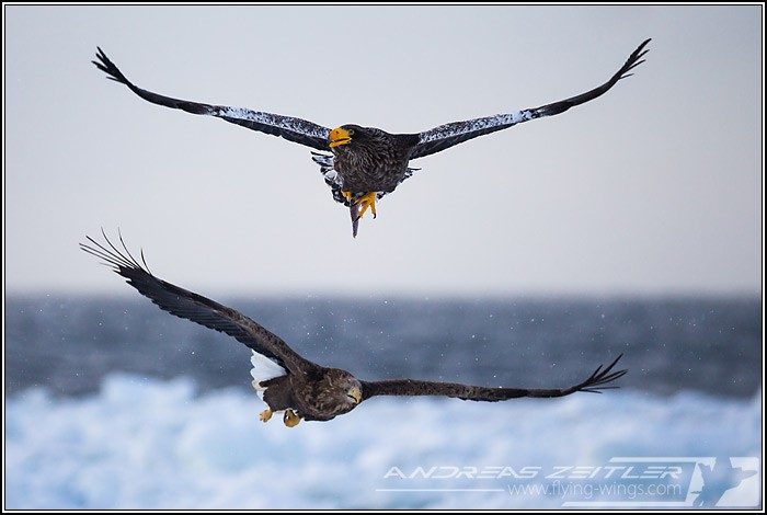 Sea Eagles At Rausu%2C Hokkaido%2C Japan Eagles 2 Zeitler 15 700 470 90