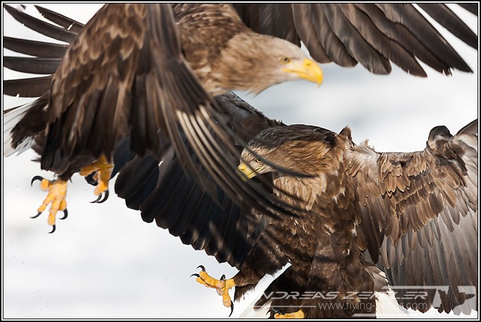Sea Eagles At Rausu%2C Hokkaido%2C Japan Eagles 7149 Zeitler 700 470 90